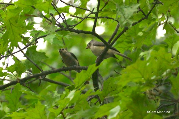 adult and fledgling titmouse