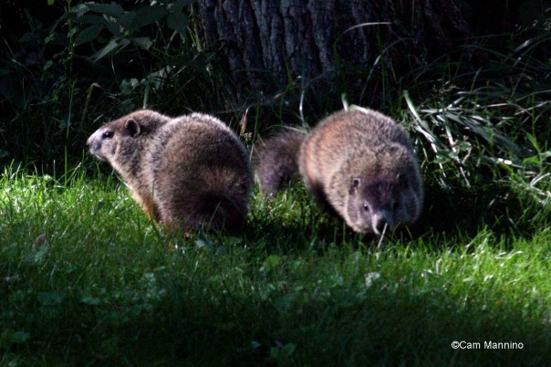 baby groundhogs