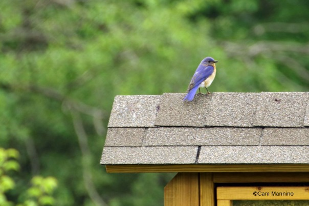 Bear Creek bluebird