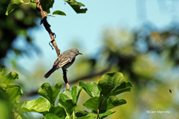 blue gray gnatcatcher juvenile