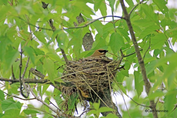 cedar waxwing in nest