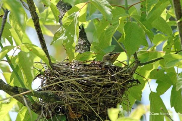 Cedar Waxwing nestling