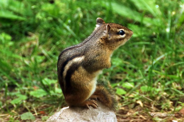 Chipmunk chipping