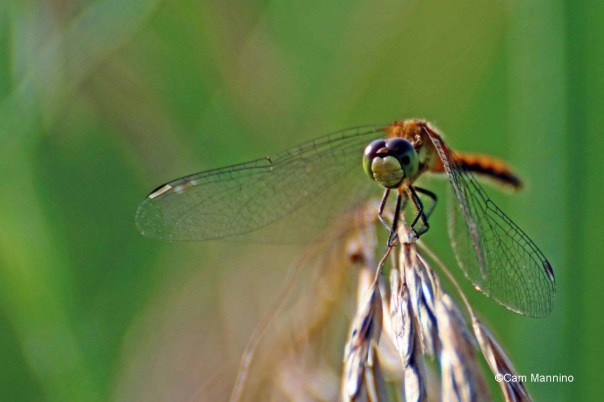 Closeup white-faced meadowhawk
