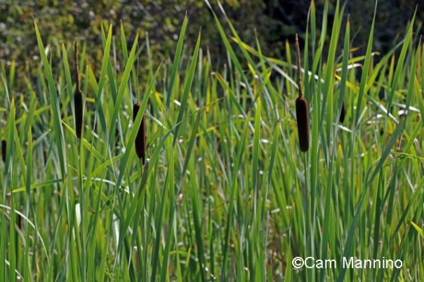 Common Cat-tail Typha latifolia