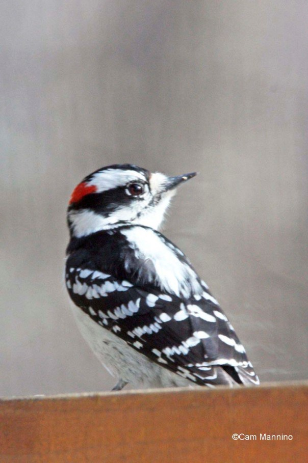 downy woodpecker2