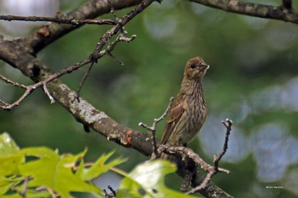 fledgling female house finch craning her neck