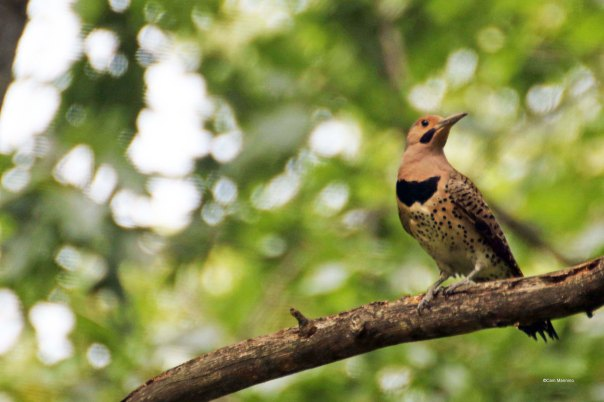 fledgling flicker