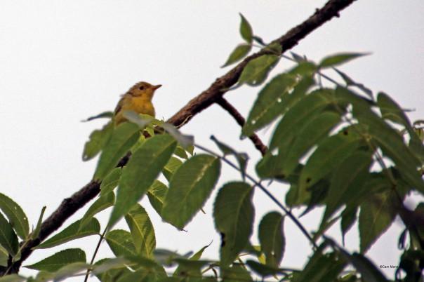 fledgling yellow warbler?