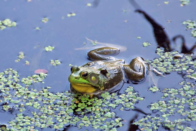 frog in duckweed