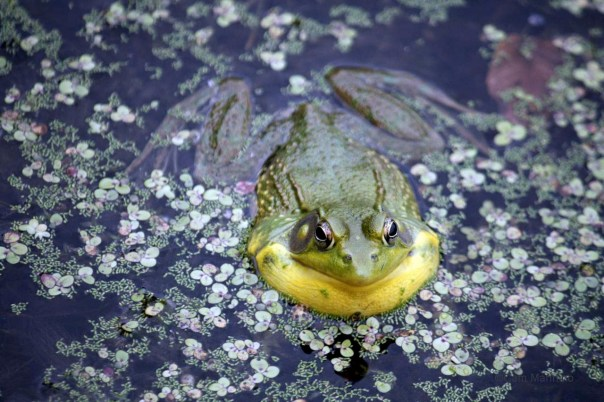 Frog mid-croak