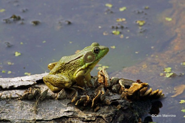 Green frog sunbathing