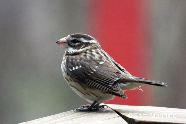 grosbeak fledgling