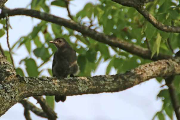 juvenile catbird Lane Bear Creek