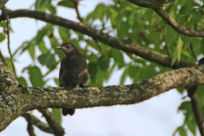 juvenile catbird Lane Bear Creek