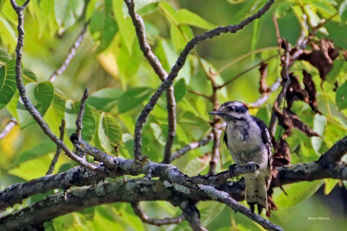 Juvenile downy woodpecker1