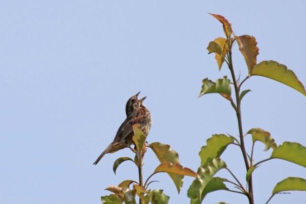 juvenile song sparrow singing