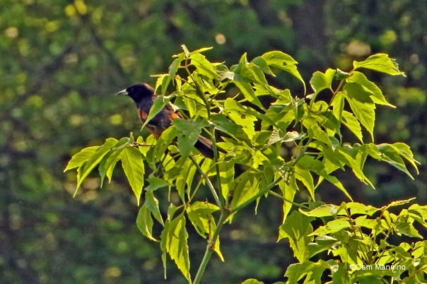 male orchard oriole2