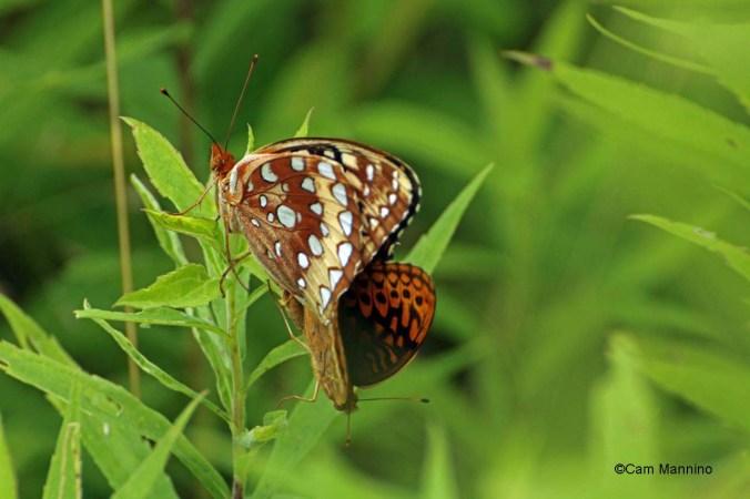 Mating fritillaries wings closed