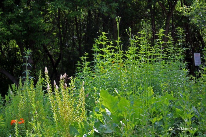 Meadowsweet, Prairie dock, butterfly weed and woodland sunflower_edited-1