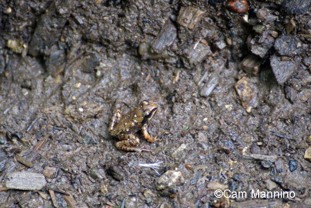 Tiny wood frog