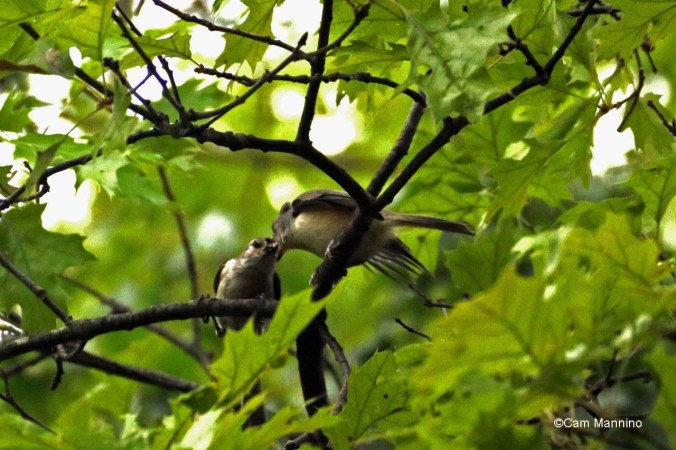 titmouse feeding fledgling