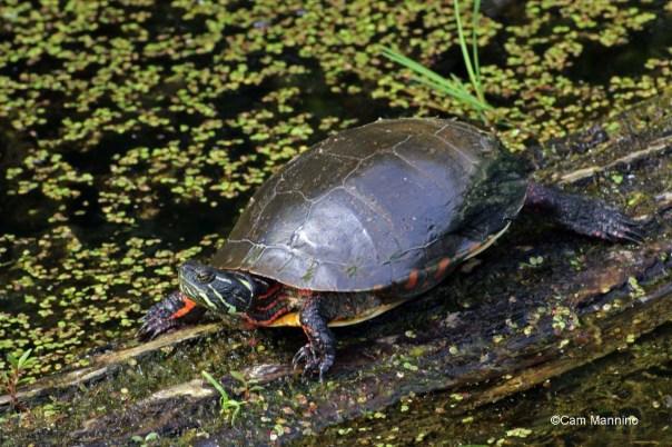 basking turtle