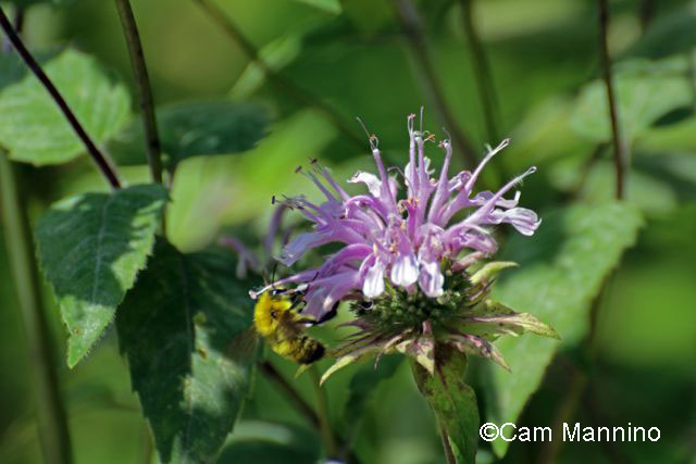 Bee balm with bee