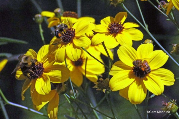 Bees on tall coreopsis