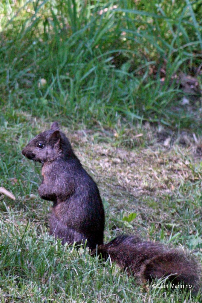 black squirrel2