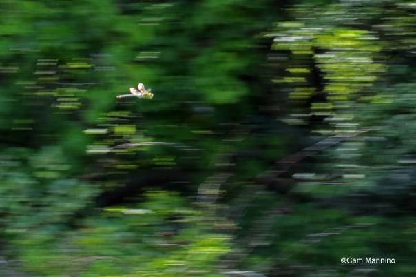 blue green darner flying