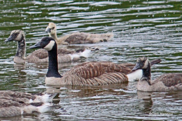 Canada Goose w young