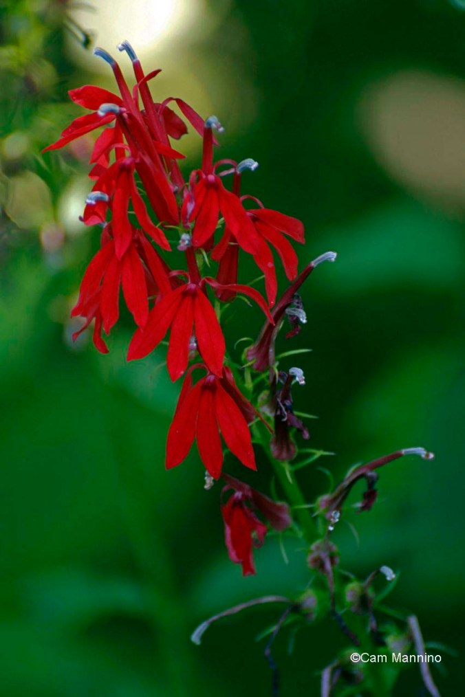 Cardinal flower end of August