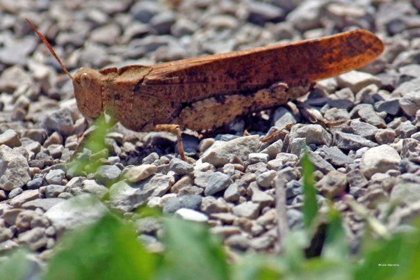 Carolina grasshopper