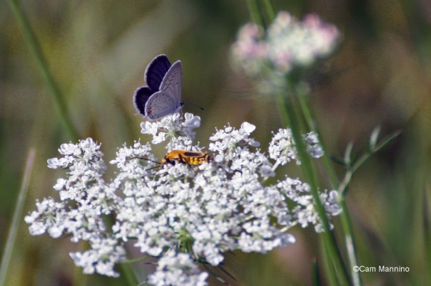 Eastern Blue Tail on Queen Anne w Soldier Beetle