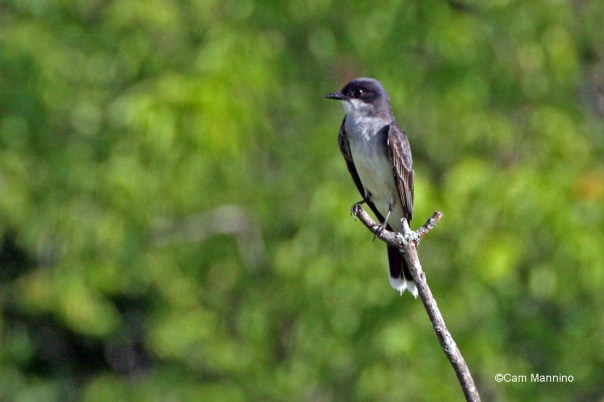 Eastern Kingbird3