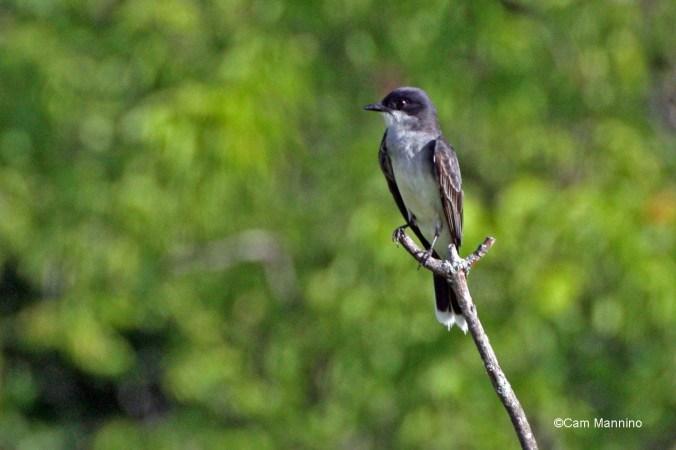 Eastern Kingbird3