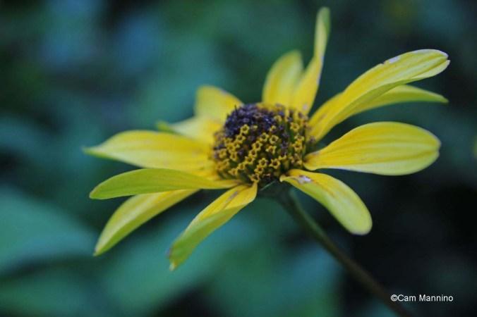 False sunflower flowering