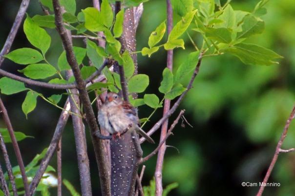 Fledgling Field Sparrow
