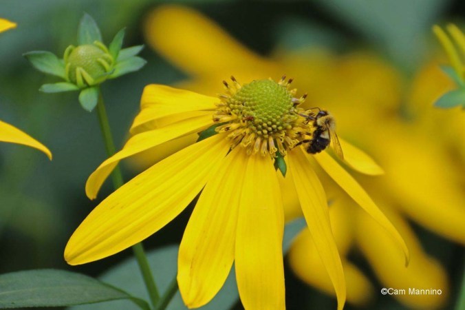 green cone flower w insect_edited-1