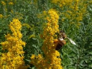Honey bee with jodpurs