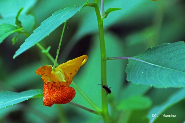Jewel Weed Draper Lake