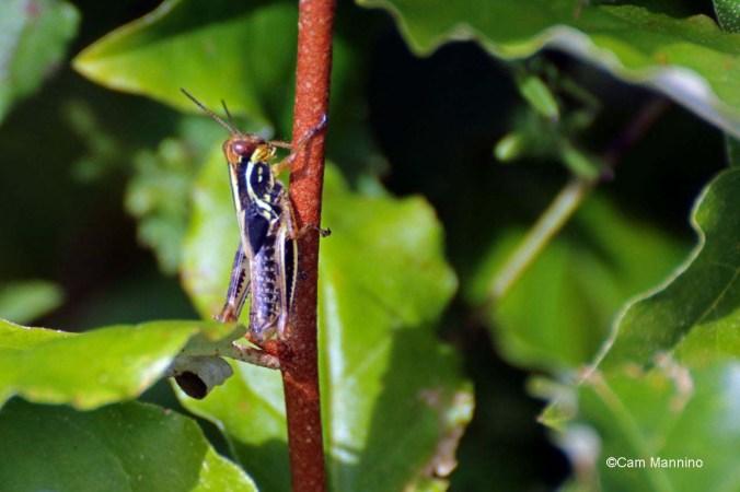 Later instar red-legged grasshopper