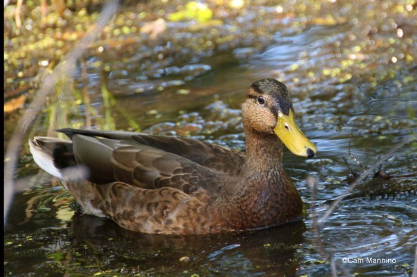 Male mallard in eclipse plumage