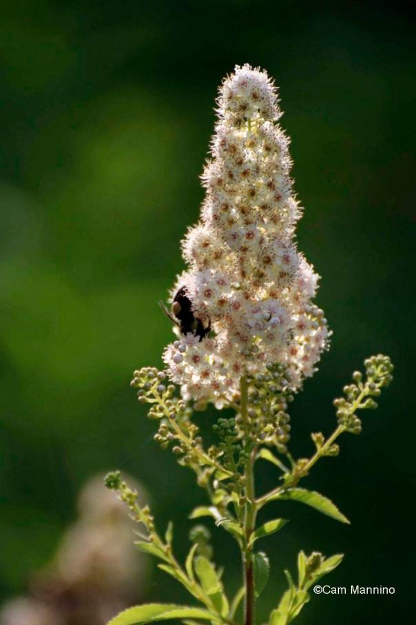Meadowsweet closeup w bumblebee