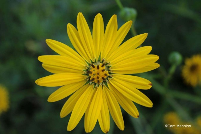 prairie dock flower