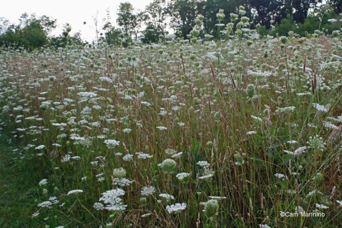 Queen Anne field 2