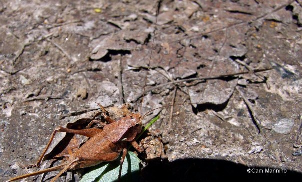 Shieldback Katydid genus Atlanticus