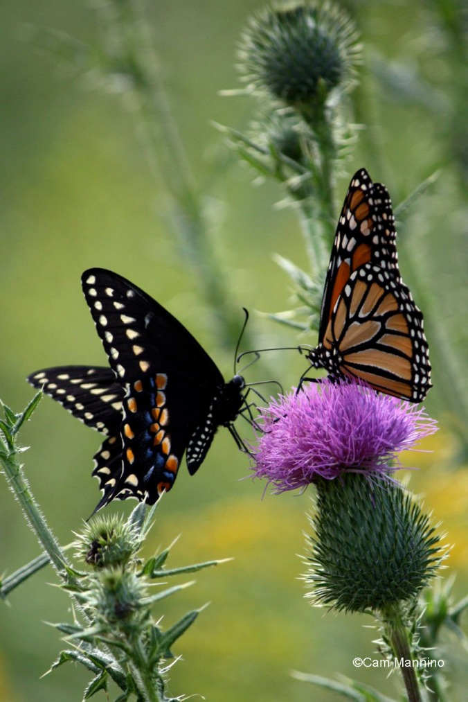 Swallowtail and Monarch