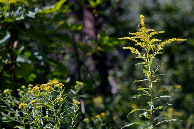 two kinds of goldenrod